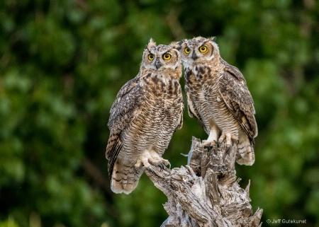 Owl Siblings