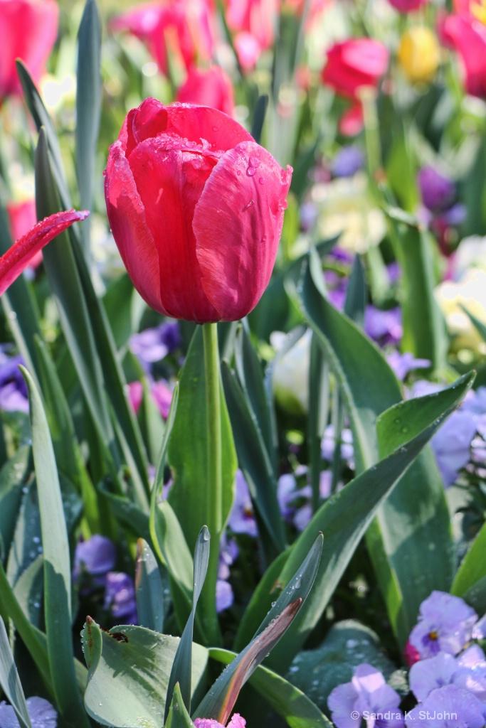 Pink Tulip - ID: 15709055 © Sandra K. StJohn