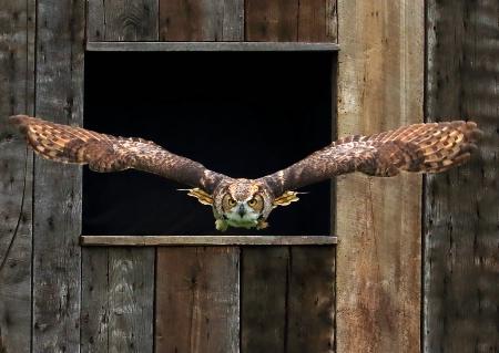 Great Horn Owl in Flight
