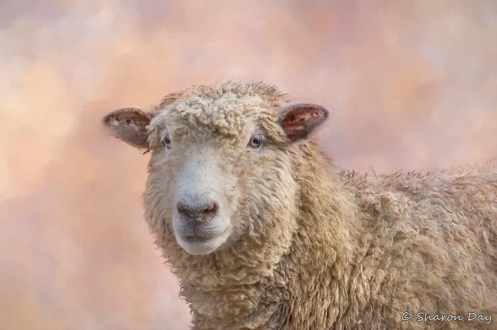 Artistic Sheep