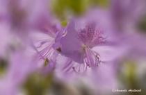 Pale Lavender Azalea Abstract