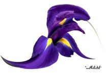 Iris Fantasia