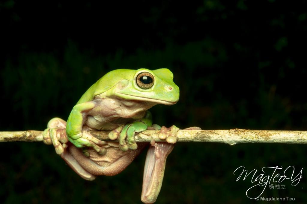 Frog on Twig - ID: 15710706 © Magdalene Teo