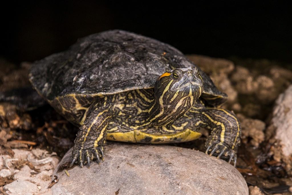 Western Painted Turtle - ID: 15710743 © William S. Briggs