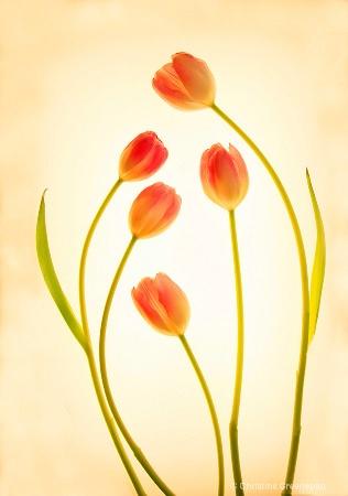 Tulip Gathering
