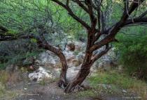 Butcher Jones Tree