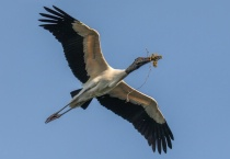 Wood Stork with Branch