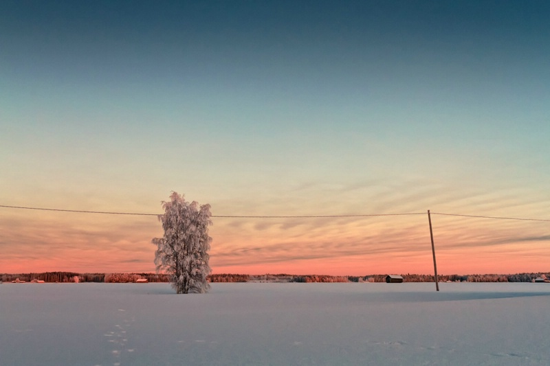 Snow Covered Tree In The Sunset