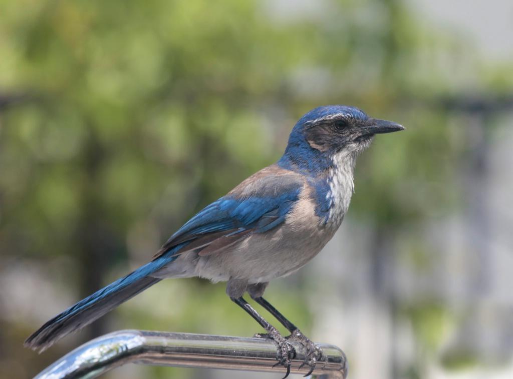 California Scrub Jay - ID: 15712178 © Lynnmarie Daley