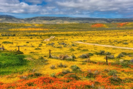 Wildflowers in the Antelope Valley