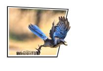Blue Jay Catching a Peanut