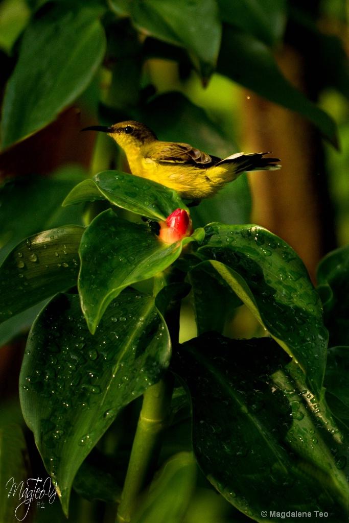 Sunbird Perch - ID: 15713645 © Magdalene Teo