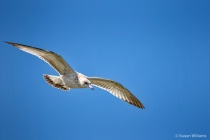 Classic Seagull