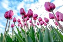 PDX Tulip19 0114