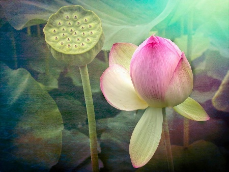 A Water Lily's Dream