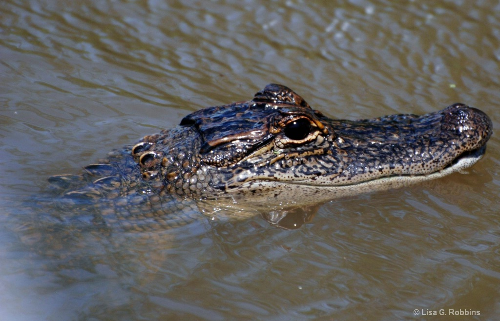Baby Gator on the LA Swamp Tour