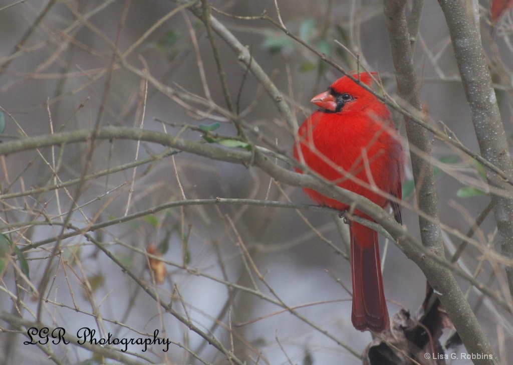 Cardinal in Winter - ID: 15714113 © Lisa Robbins