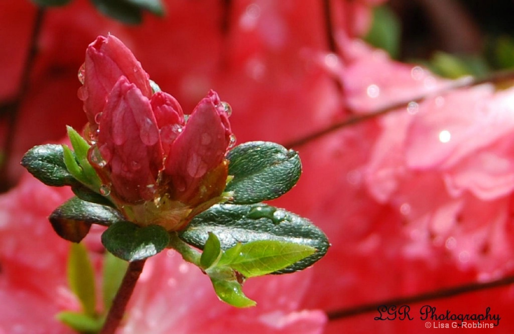 Azaleas after the Rain 2 - ID: 15714114 © Lisa Robbins