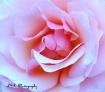 Pink Rose - Belli...