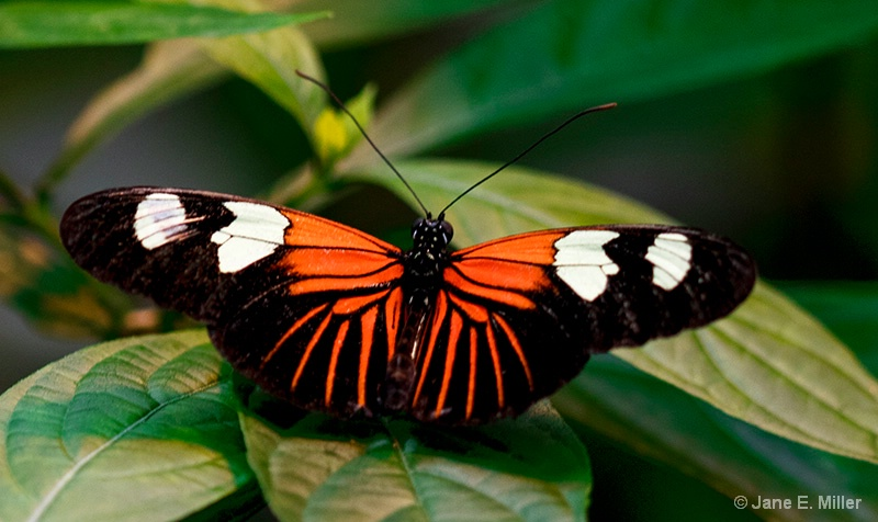 Bright Beautiful Butterfly - ID: 15714148 © Jane E. Miller