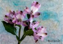 Lavender Alstros