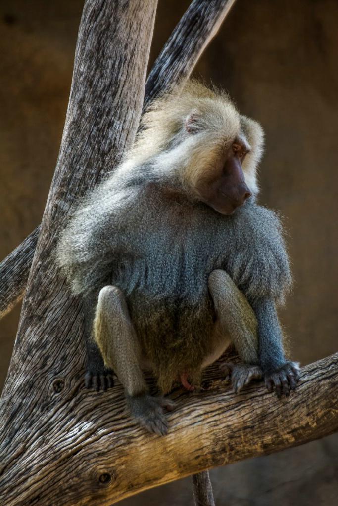 Baboon - ID: 15714542 © Robert R. Goodman