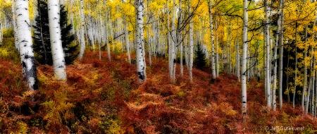 Aspens in Fall Panorama