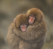Japanese Macaque Babies