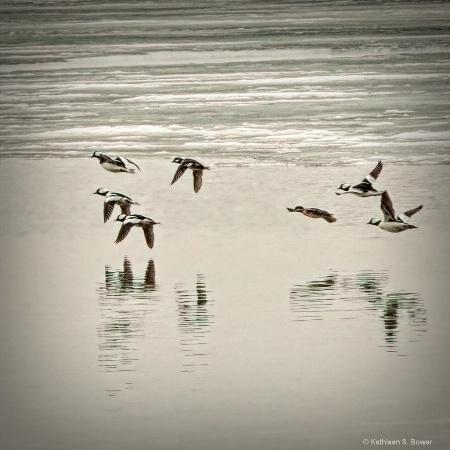 Buffleheads in flight