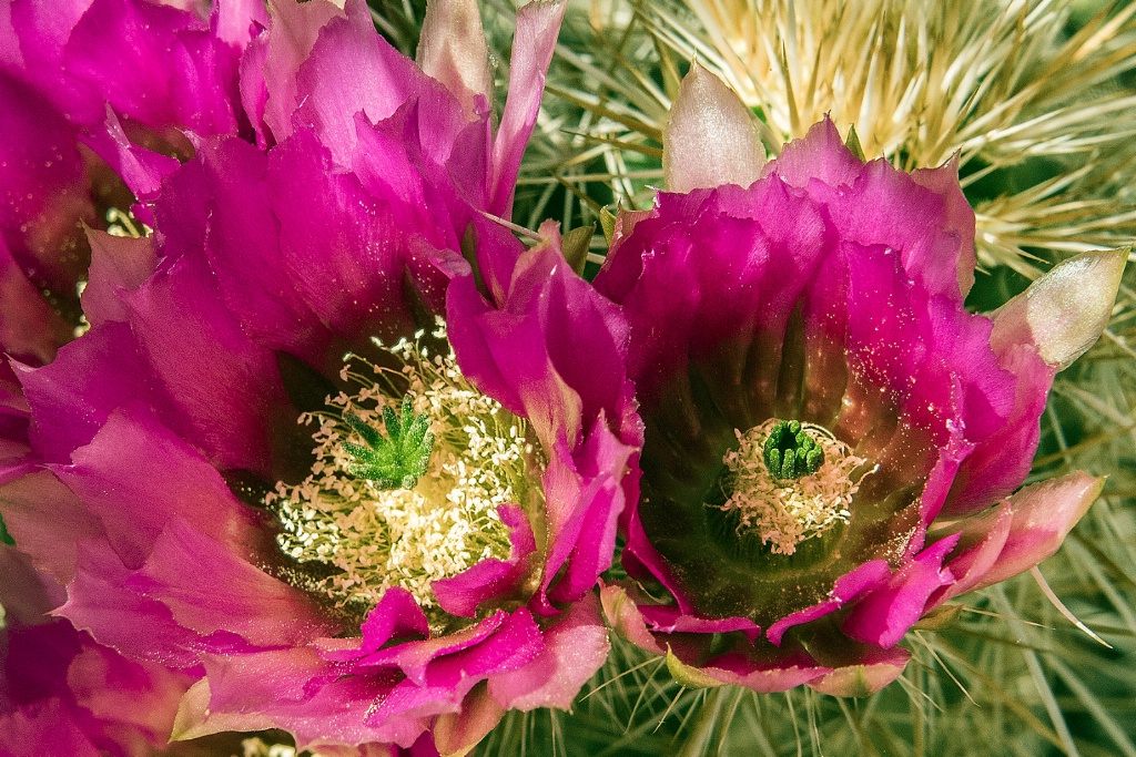 Endangered Arizona Hedgehog Cactus - ID: 15715006 © William S. Briggs