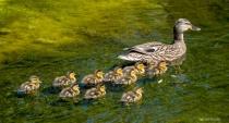 Ducklings at the Creek