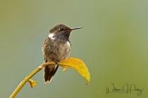 Volcano Hummingbird Male