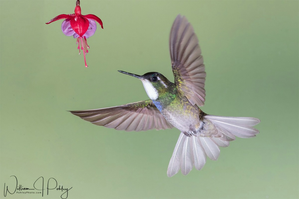 White-throated Mountain-gem - ID: 15715156 © William J. Pohley