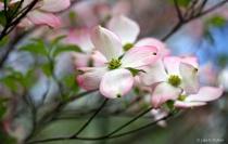 Dogwood Pinks