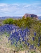 Texas bluebonnets...