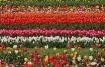 Tulip Land
