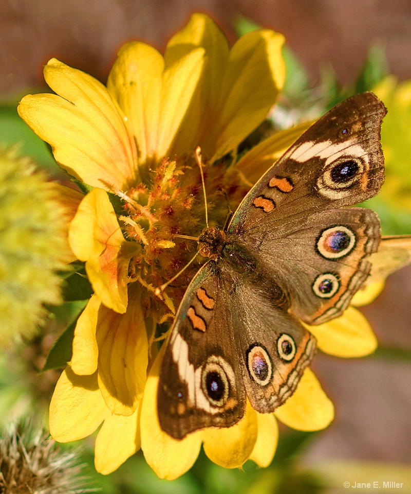 Common Buckeye Butterfly - ID: 15715968 © Jane E. Miller