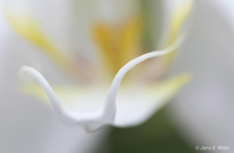 Elegant Beauty - ID: 15716052 © Jane E. Miller
