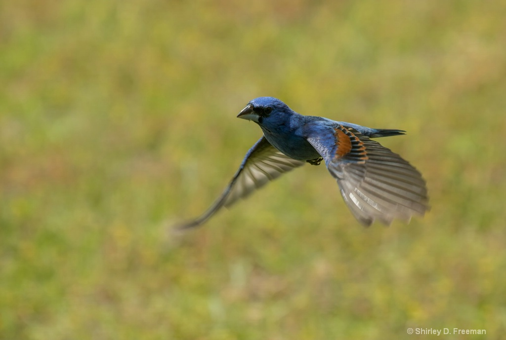 Blue Grosbeak In Flight - ID: 15717875 © Shirley D. Freeman