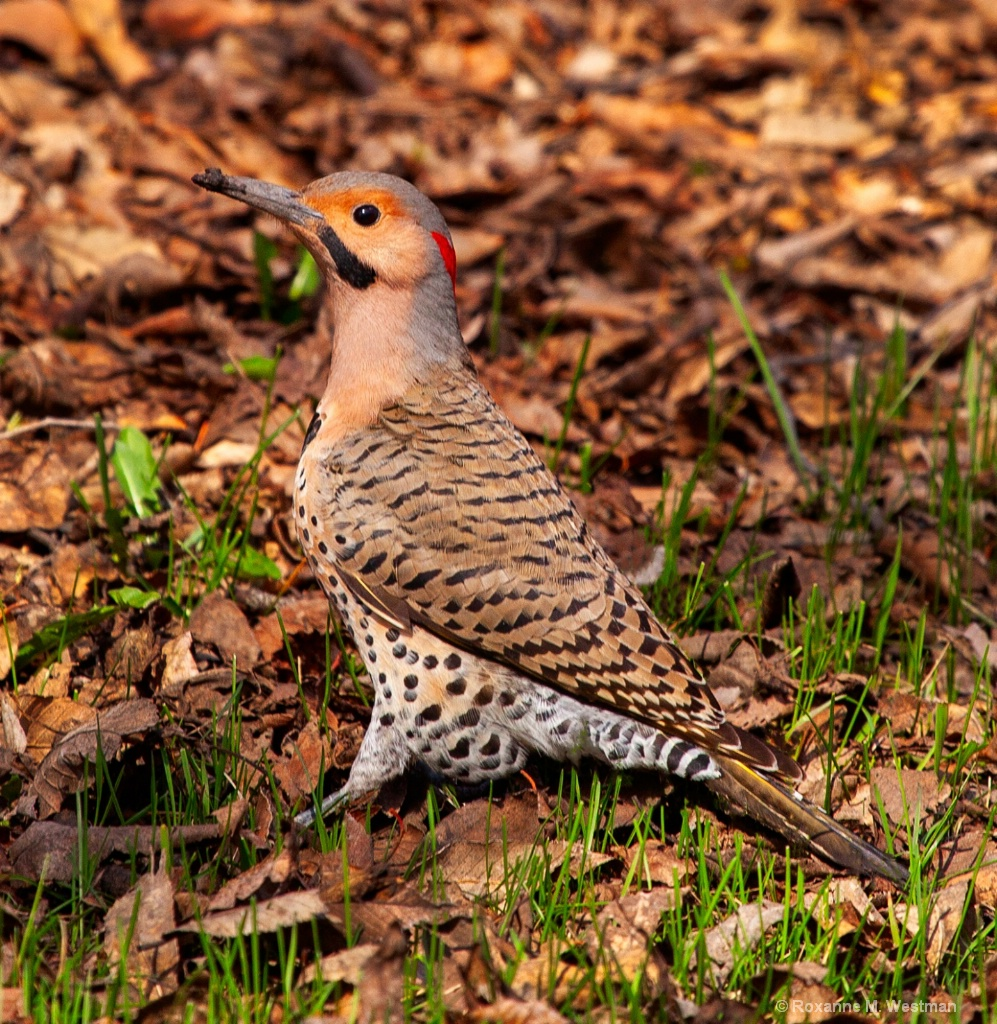 Northern Flicker - ID: 15718573 © Roxanne M. Westman