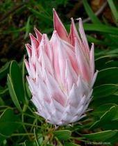 Sharp Velvety petals