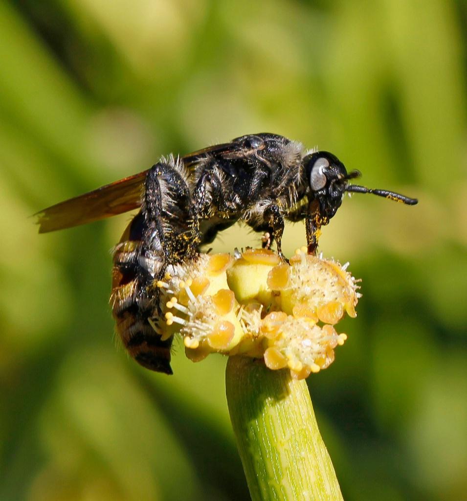 Peculiar Pollinator - ID: 15718938 © Lynnmarie Daley