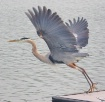Mr. Blue Heron