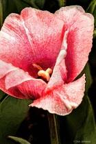 Artistic Pink Tulip Macro 6-0 F LR 4-13-19 J709