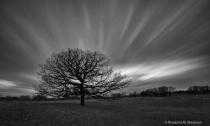 Barren oak tree