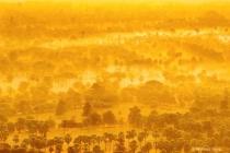 yellow Toddy Palm Farm