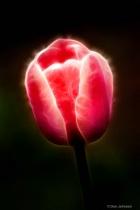 Artistic Pink Tulip Profile 6-0 F LR 4-13-19 J248