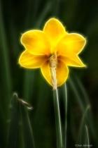 Artistic Back of Daffodil 6-0 F LR 4-13-19 J177