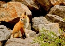 Fox in the Colorado Wild