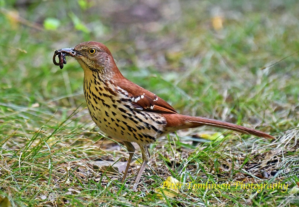Brown Thrasher with breakfast - ID: 15722262 © Peter Tomlinson